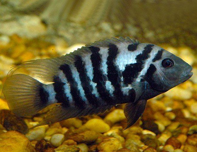 Black Convict Cichlid Fish Arizona Aquatic Gardens
