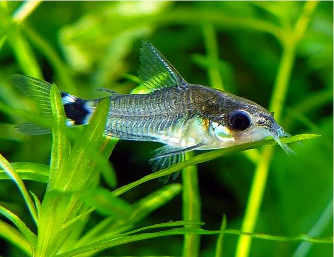 Black Diamond Cory Catfish