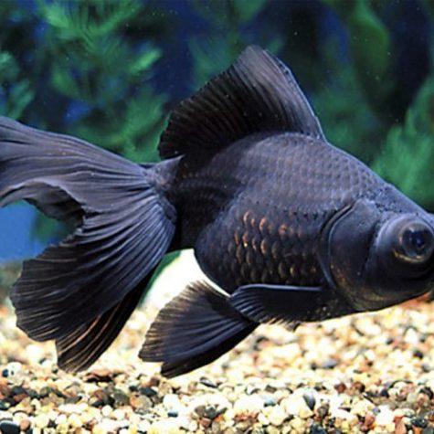 Fancy Goldfish Archives | Arizona Aquatic Gardens
