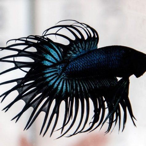 Black Orchid Crown Tail Male Betta
