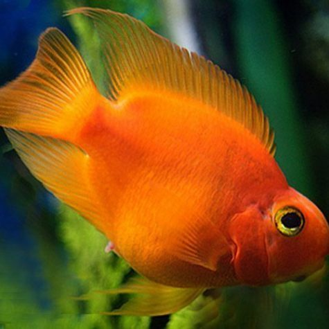 Blood Parrot Cichlid Freshwater Aquarium Fish