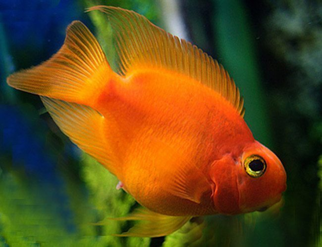blood parrot cichlid freshwater aquarium fish arizona