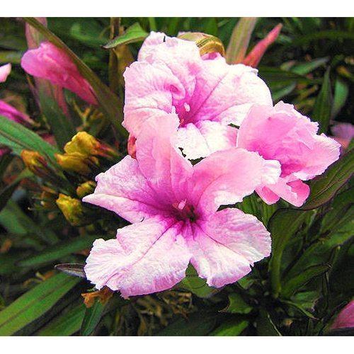 Blue Bell Pink Chi-Chi or Ruellia brittoniana 'Chi Chi' Bog Plant