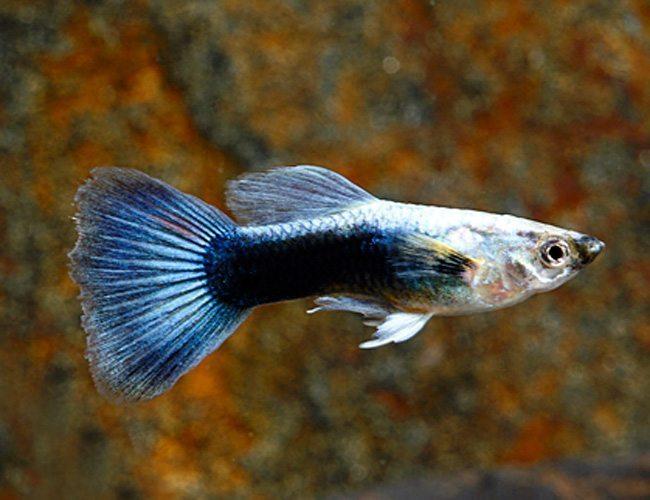 blue delta guppy pairs arizona aquatic gardens