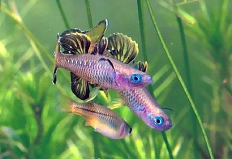 Rainbowfish aquarium fish archives arizona aquatic gardens for Freshwater rainbow fish