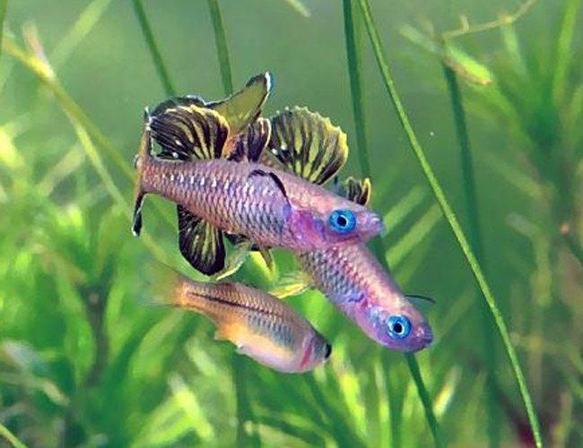 Blue eyed tenellus tropical rainbowfish arizona aquatic for Freshwater schooling fish