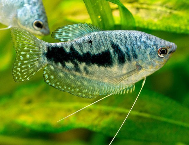 Blue Gourami Fish