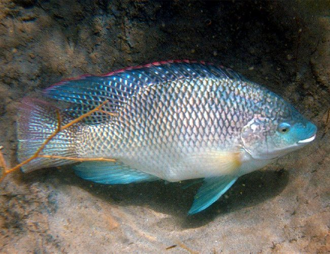 Blue Tilapia for Food, Gamefish or Aquaponics