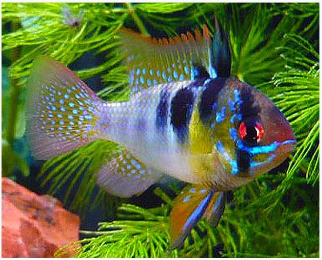 Dwarf German Blue Ram Cichlid Arizona Aquatic Gardens