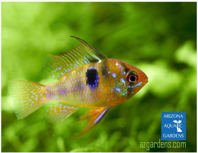 Dwarf german blue ram cichlid arizona aquatic gardens for German ram fish