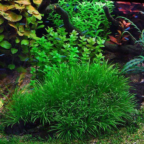 Blyxa Japonica Lush Green Aquarium Plant