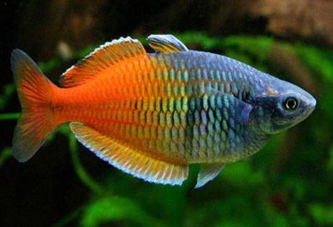 Rainbowfish aquarium fish archives arizona aquatic gardens for Freshwater schooling fish