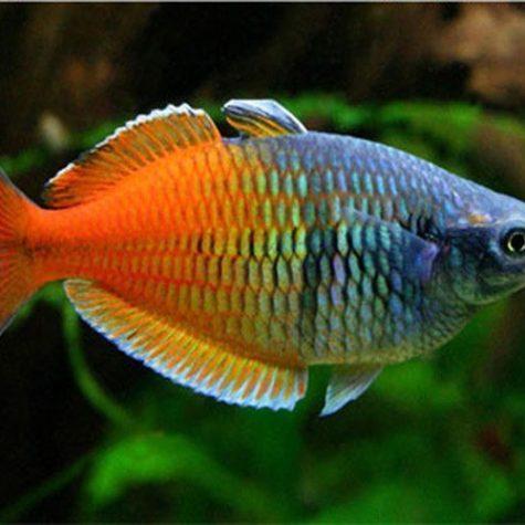 Boesemani Tropical Rainbowfish