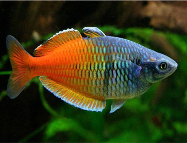 Boesemani tropical rainbowfish arizona aquatic gardens for Tropical rainbow fish