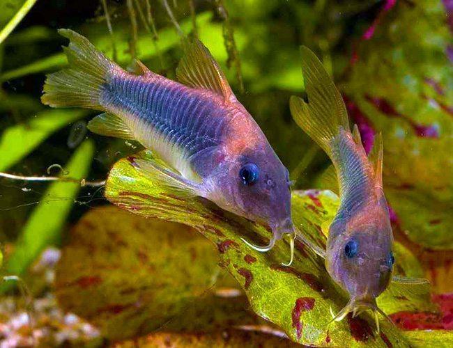 Cory bronze lightspot cory catfish arizona aquatic gardens for Cory cat fish