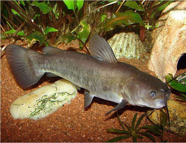 Catfish - Brown Bullhead Catfish or Mud Cats
