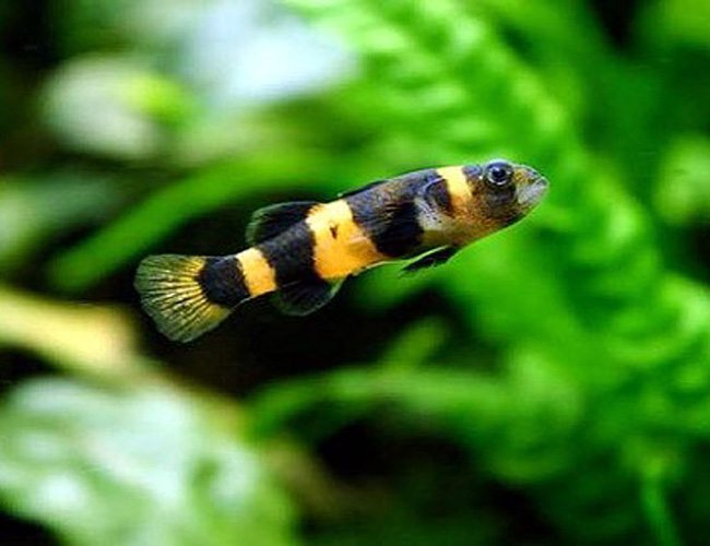 Image result for bee-fish