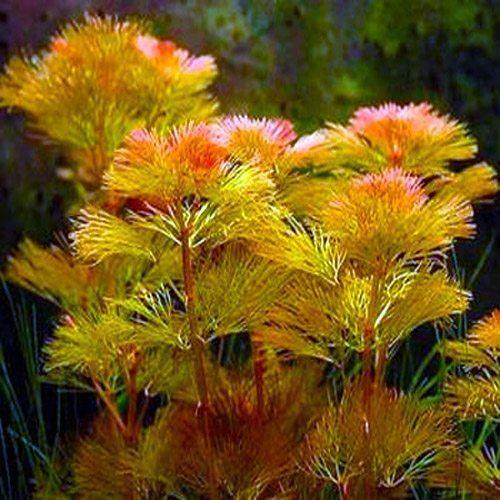 Cabomba Red Furcata Bunched Aquarium Plant