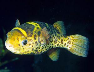 Puffer - Ceylon Puffer Fish