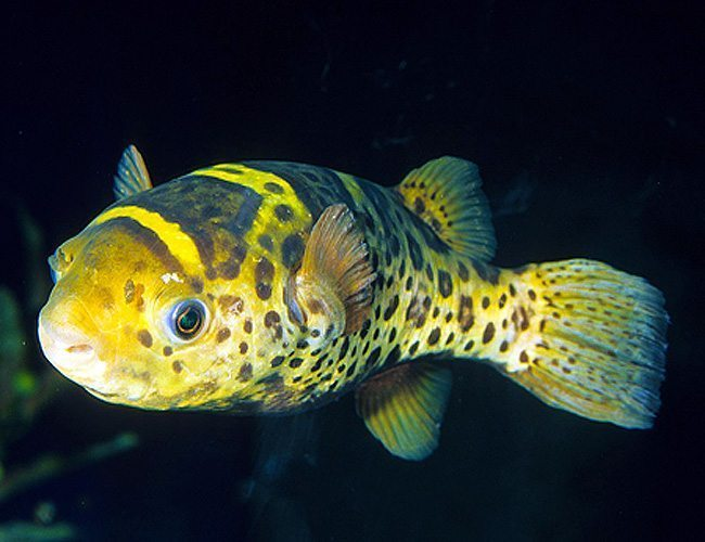 Ceylon puffer fish arizona aquatic gardens for Puffer fish diet