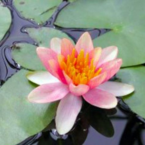 Changeable Chrysantha or Nymphaea 'Chrysantha' Winter Hardy Water Lily