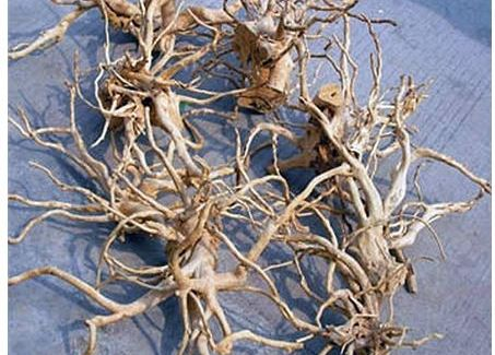 Chinese Azalea Root Spider Wood Driftwood