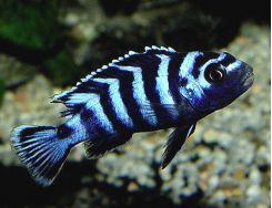 African Cichlids Aquarium Fish