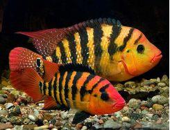 New World Cichlids Aquarium Fish