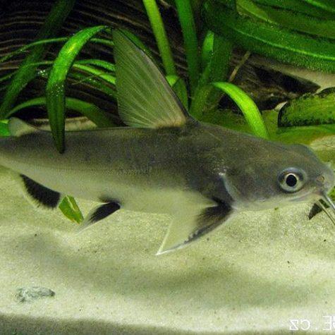 Columbian Tropical Shark