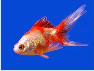Comet sarasa fantail goldfish in assorted colors arizona for Ph for koi fish