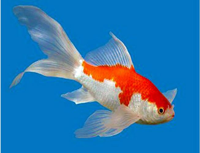 Comet Sarasa Fantail Goldfish in Assorted Colors