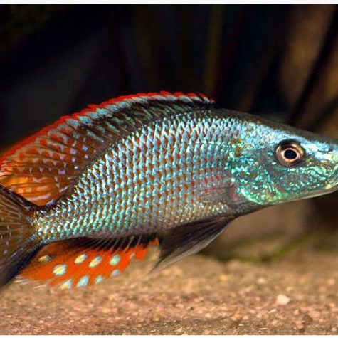 Compressiceps East African Cichlid