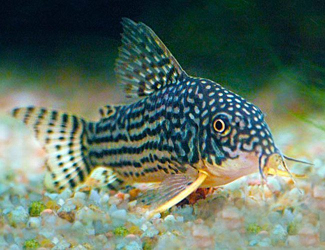 Catfish For Sale >> Colorful Freshwater Tropical Fish - Arizona Aquatic Gardens