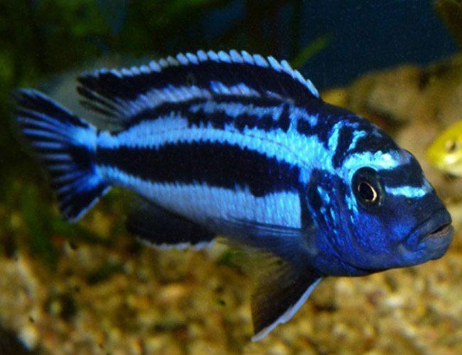Crystal Blue Maingano Cichlid