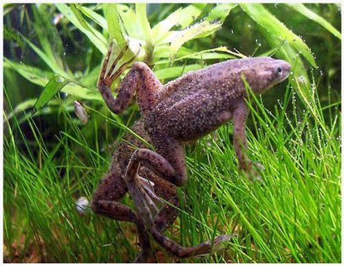 Dwarf African Frog Hymenochirus curtipes