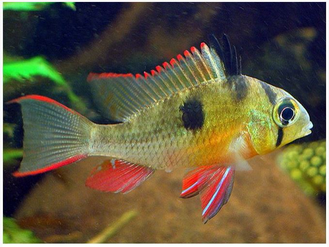 Bolivian Butterfly Cichlid Breeding Best Image Of
