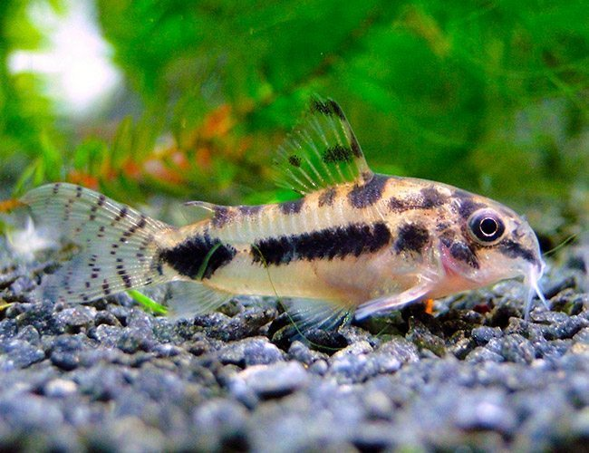 Cory dwarf habrosus cory catfish arizona aquatic gardens for Cory cat fish