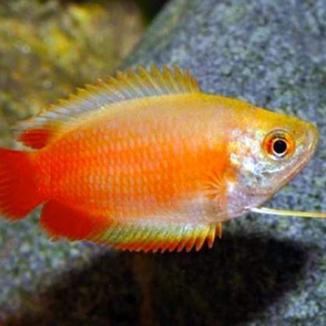 Dwarf Honey Red Gourami Fish