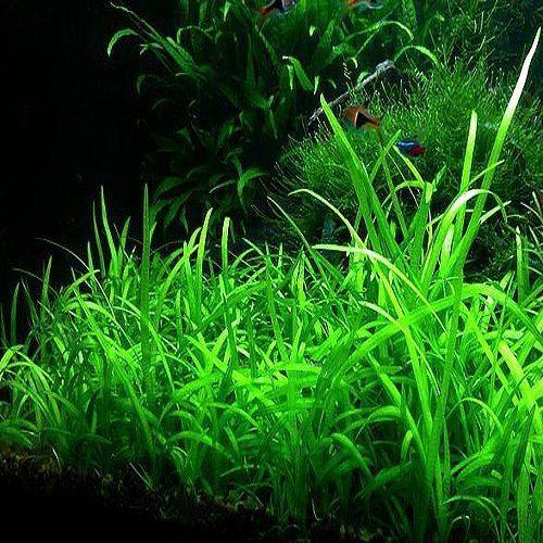 Dwarf Narrow Sagittaria Subulata plants