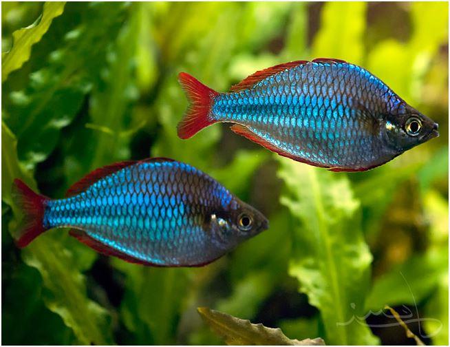 Dwarf Neon Praecox Large Tropical Rainbowfish