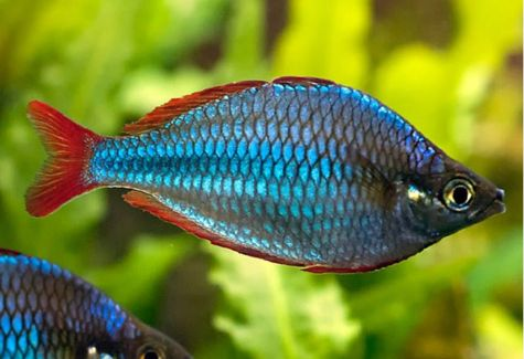 Rainbowfish aquarium fish archives arizona aquatic gardens for Dwarf rainbow fish