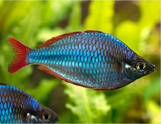 Freshwater rainbow fish images for Tropical rainbow fish