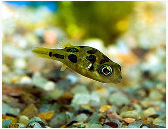 Dwarf pea puffer arizona aquatic gardens for Dwarf puffer fish
