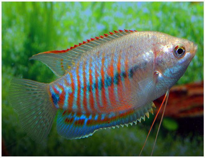 Dwarf Thicklip Sunset Gourami Fish Arizona Aquatic Gardens