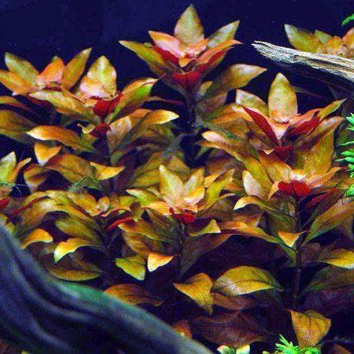 East Asian Ludwigia Oval Leaf Bunched Aquarium Plant