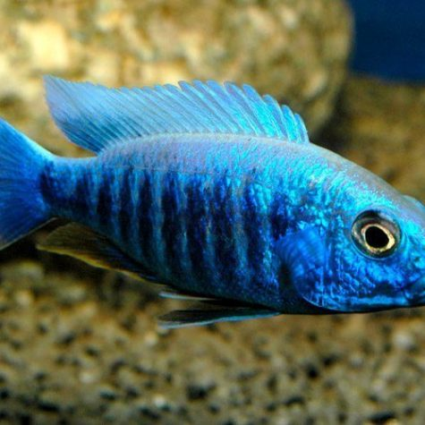 Electric Blue Hap Cichlid