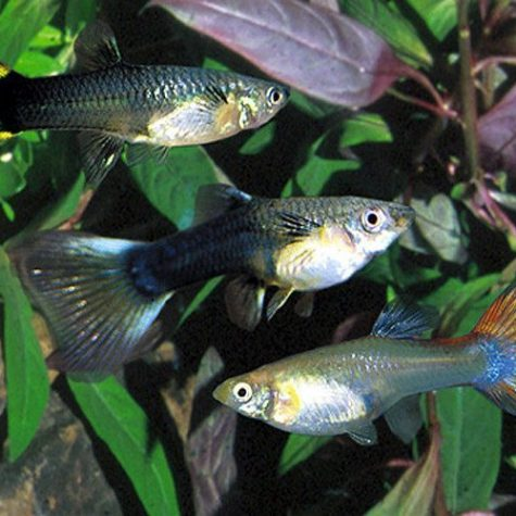 Fancy Female Guppy Aquarium Fish