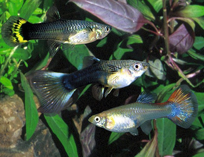 Fancy Female Guppy Aquarium Fish