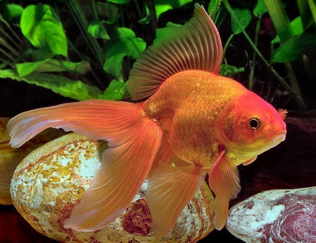 Fancy Red Fantail Goldfish | Arizona Aquatic Gardens
