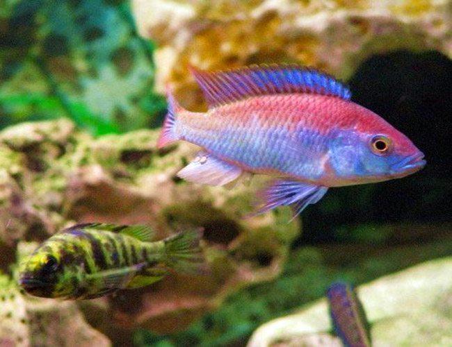 Flameback Cichlid Haplochromis Sp Flameback Arizona Aquatic Gardens